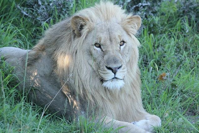 lion-3-ap