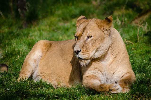 What Are the Main Components of a Lion's Diet?