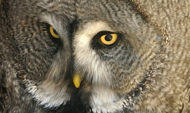 owl-6-ap