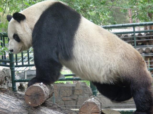 Are pandas bears