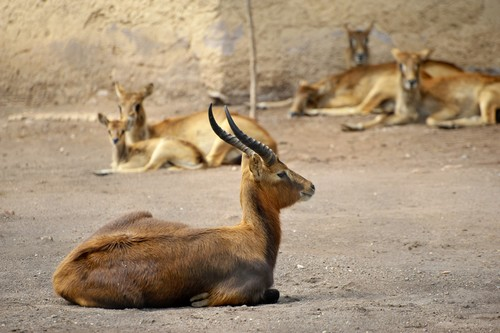 interesting_facts_about_antelope4