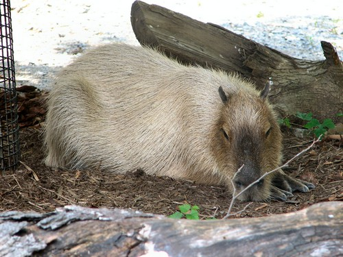 interesting_facts_about_capybara1