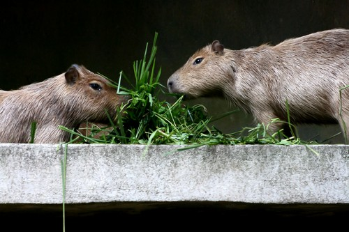 interesting_facts_about_capybara2