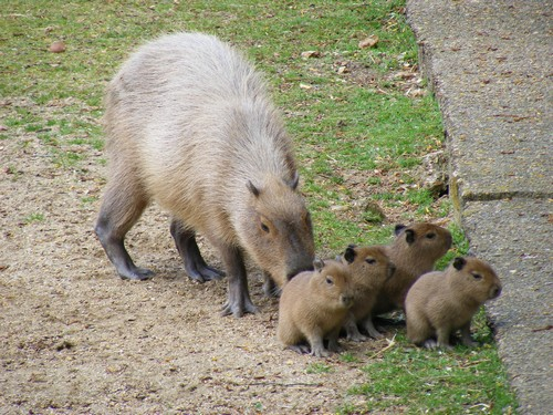interesting_facts_about_capybara4