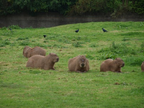 interesting_facts_about_capybara6