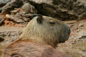 interesting_facts_about_capybara8