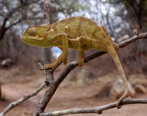 interesting_facts_about_chameleon2