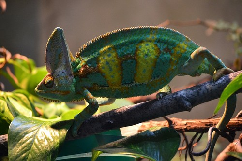 interesting_facts_about_chameleon5