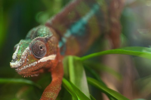 interesting_facts_about_chameleon6