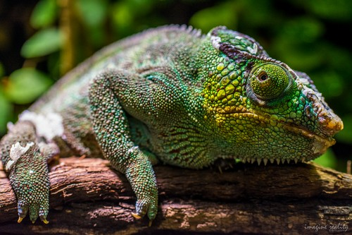 interesting_facts_about_chameleon7