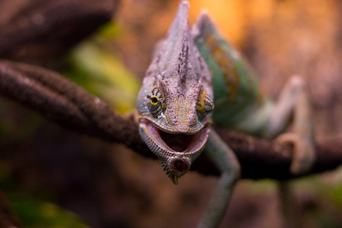 Interesting_Facts_About_Chameleon8-ap