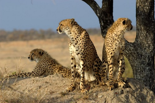 interesting_facts_about_cheetah1