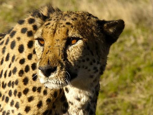 Cheetah Facts For Kids | Cheetah Habitat & Diet