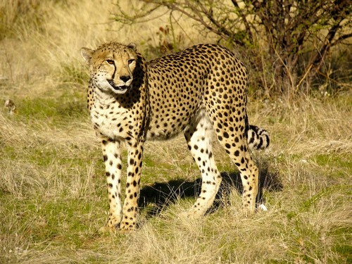 interesting_facts_about_cheetah5