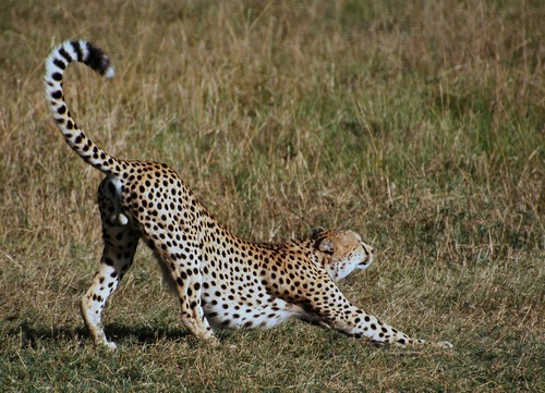 interesting_facts_about_cheetah6