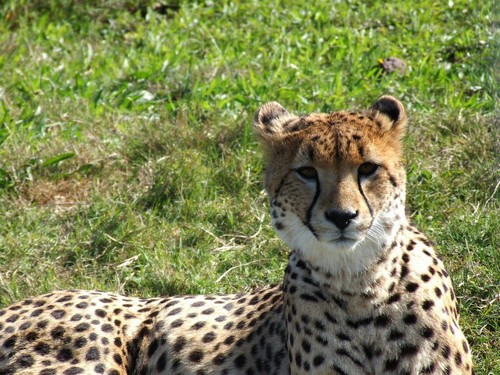 interesting_facts_about_cheetah7