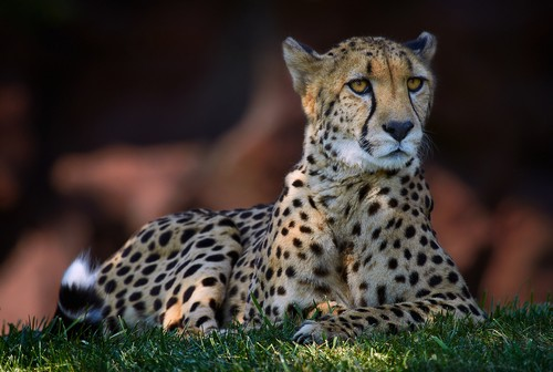 Interesting_Facts_About_Cheetah8-ap