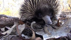 interesting_facts_about_echidna6