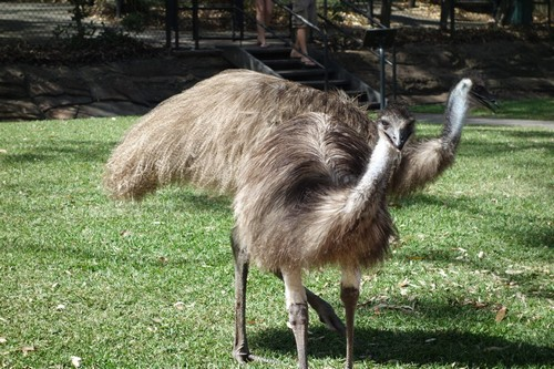 interesting_facts_about_emu4