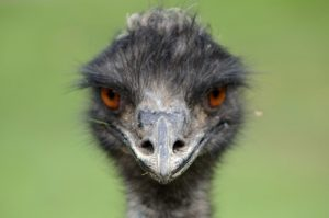 interesting_facts_about_emu8