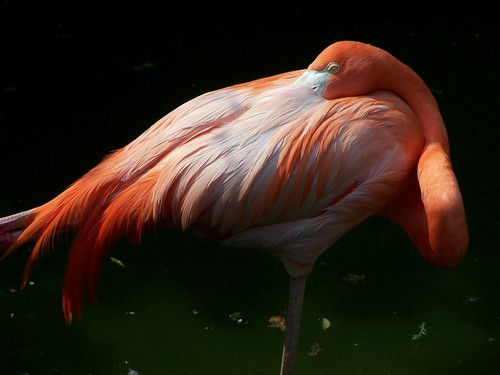 interesting_facts_about_flamingo1