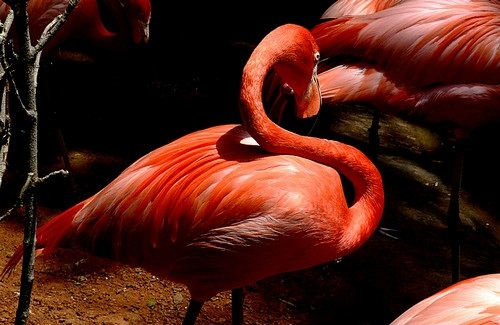 interesting_facts_about_flamingo4