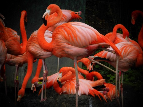 interesting_facts_about_flamingo6