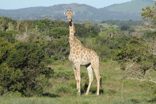 interesting_facts_about_giraffe4