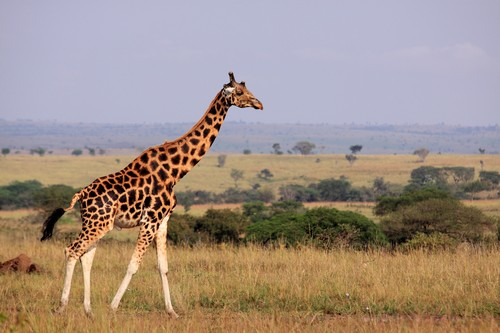Interesting_Facts_About_Giraffe7-ap