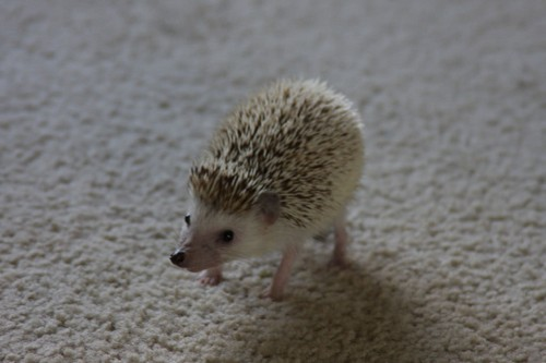 interesting_facts_about_hedgehog1