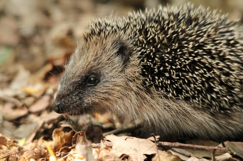 Interesting_Facts_About_Hedgehog8-ap