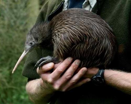 interesting_facts_about_kiwi_bird7