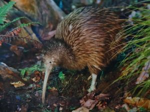 interesting_facts_about_kiwi_bird8
