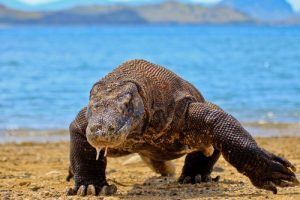 interesting_facts_about_komododragon8