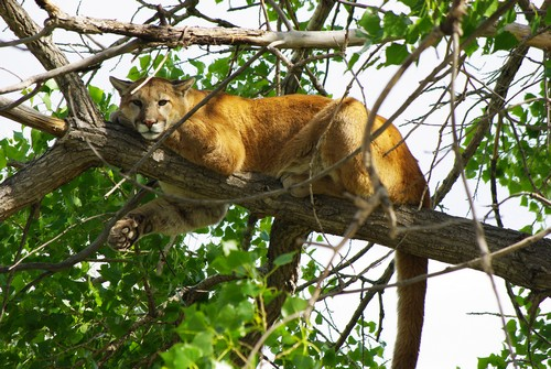 interesting_facts_about_mountain_lion5