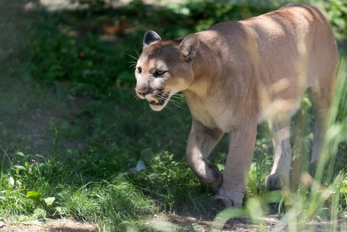 interesting_facts_about_mountain_lion7