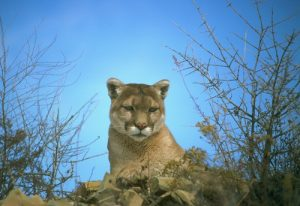 interesting_facts_about_mountain_lion8