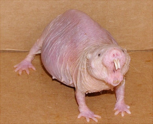 Interesting_Facts_About_Naked_Mole_Rat4