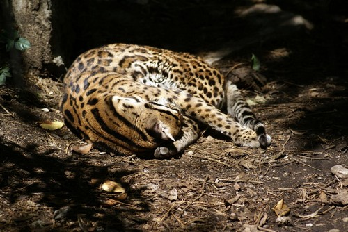 interesting_facts_about_ocelot1