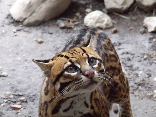 interesting_facts_about_ocelot2