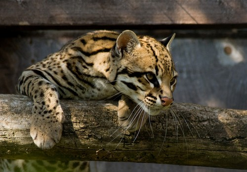Ocelot from the Santago collection, 24 June 2009