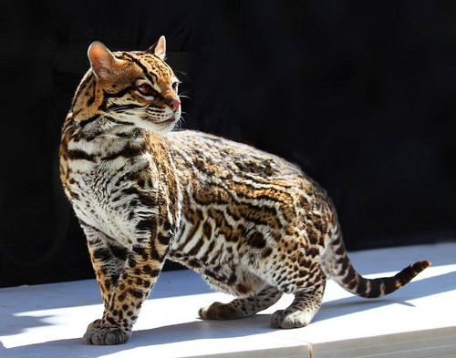 interesting_facts_about_ocelot7