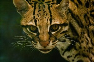 interesting_facts_about_ocelot8