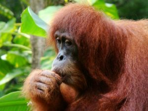 interesting_facts_about_orangutan8