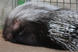 interesting_facts_about_porcupine8