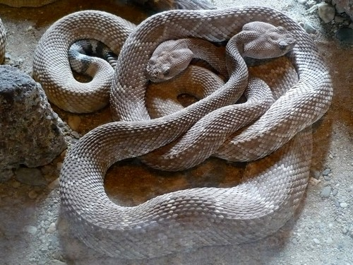 interesting_facts_about_rattlesnake1