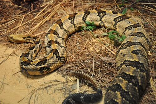 interesting_facts_about_rattlesnake3