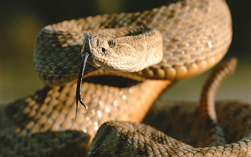 interesting_facts_about_rattlesnake4