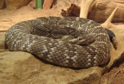 interesting_facts_about_rattlesnake5