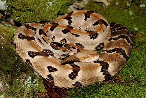 interesting_facts_about_rattlesnake6
